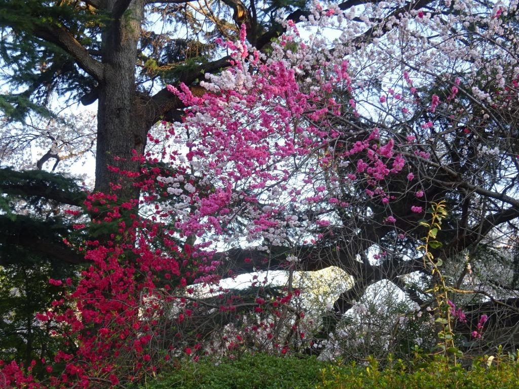 新宿御苑の色んな種類の桜_d0061678_08365356.jpg