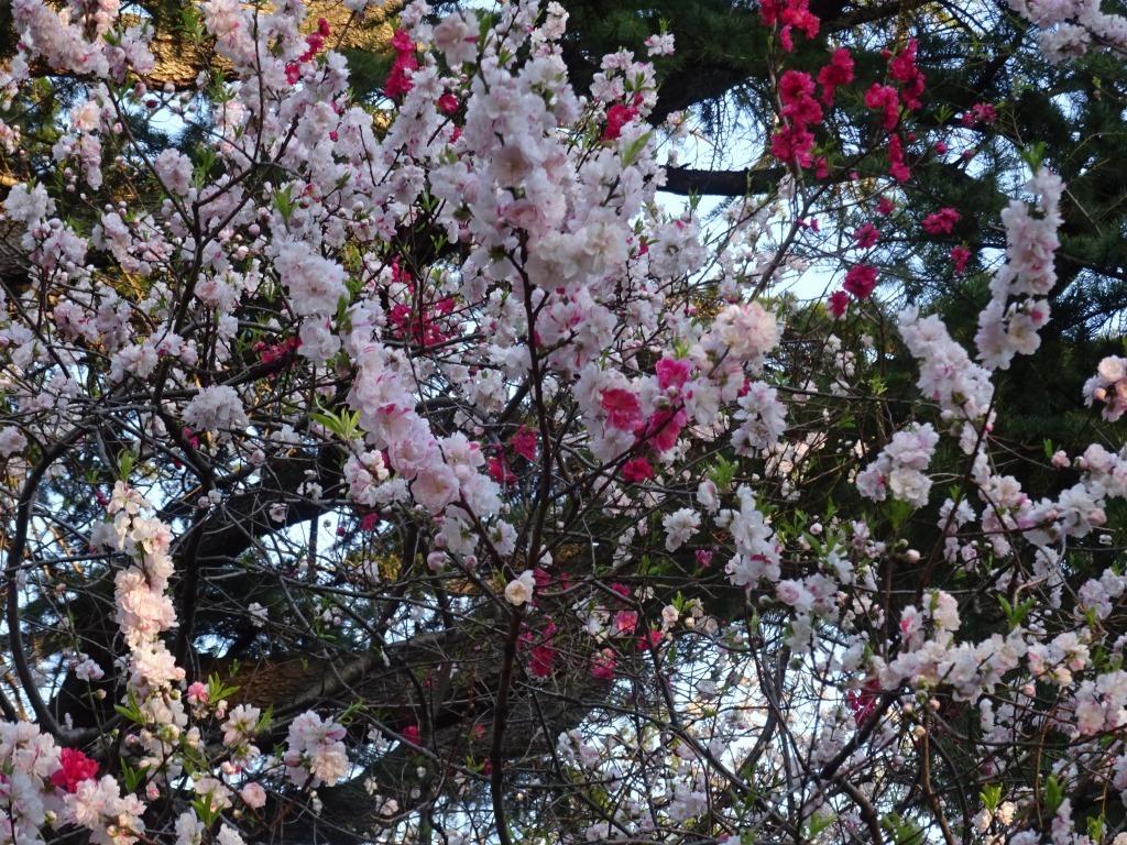 新宿御苑の色んな種類の桜_d0061678_08370567.jpg