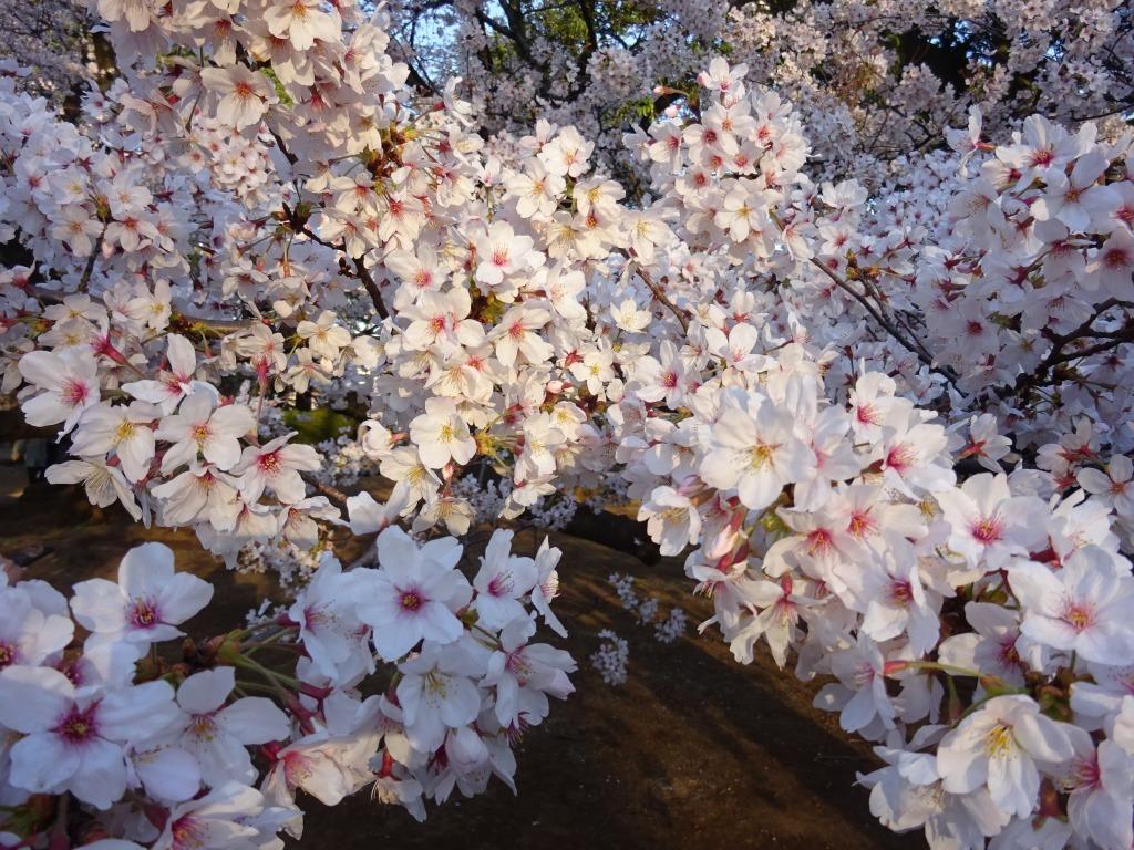 新宿御苑の色んな種類の桜_d0061678_08373547.jpg