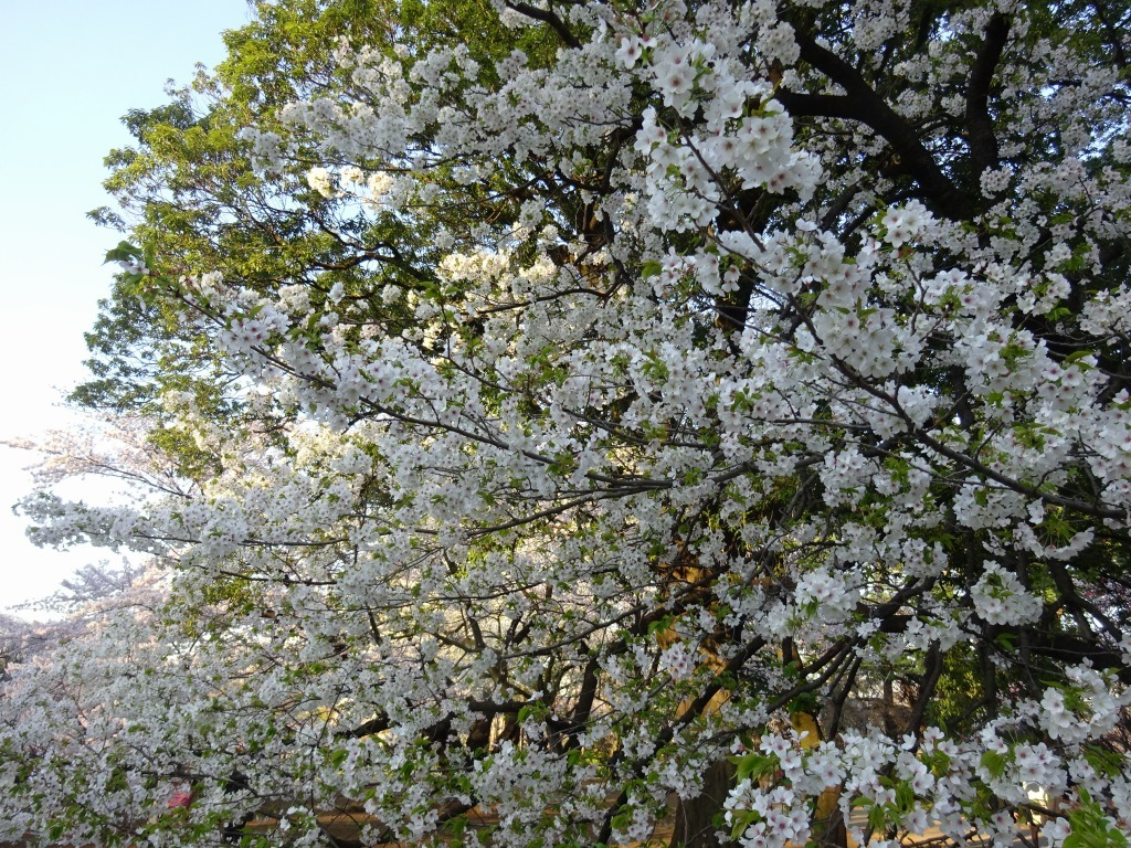 新宿御苑の色んな種類の桜_d0061678_08373565.jpg