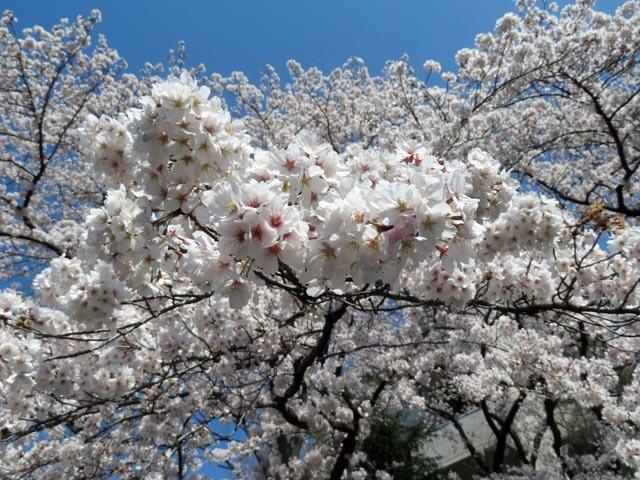桜散歩_e0133780_21275297.jpg