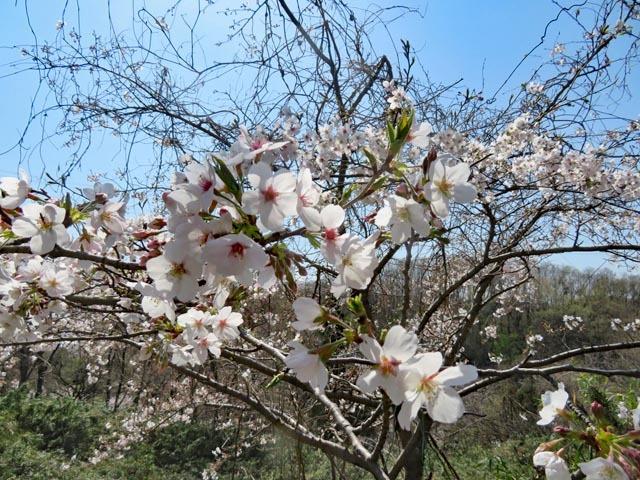 桜散歩_e0133780_21325611.jpg
