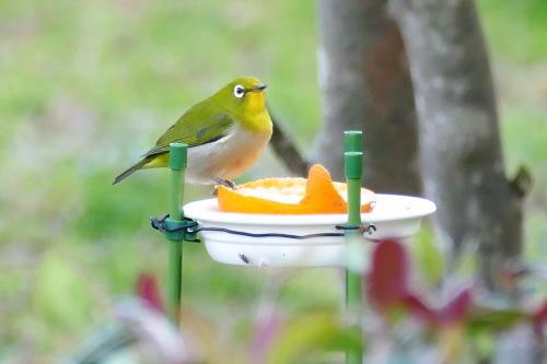 富浜緑地で見られる野鳥についてR2.3.17_d0338682_11583845.jpg