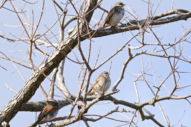 富浜緑地で見られる野鳥についてR2.3.17_d0338682_12483025.jpg