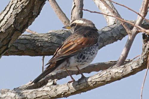 富浜緑地で見られる野鳥についてR2.3.17_d0338682_12483914.jpg