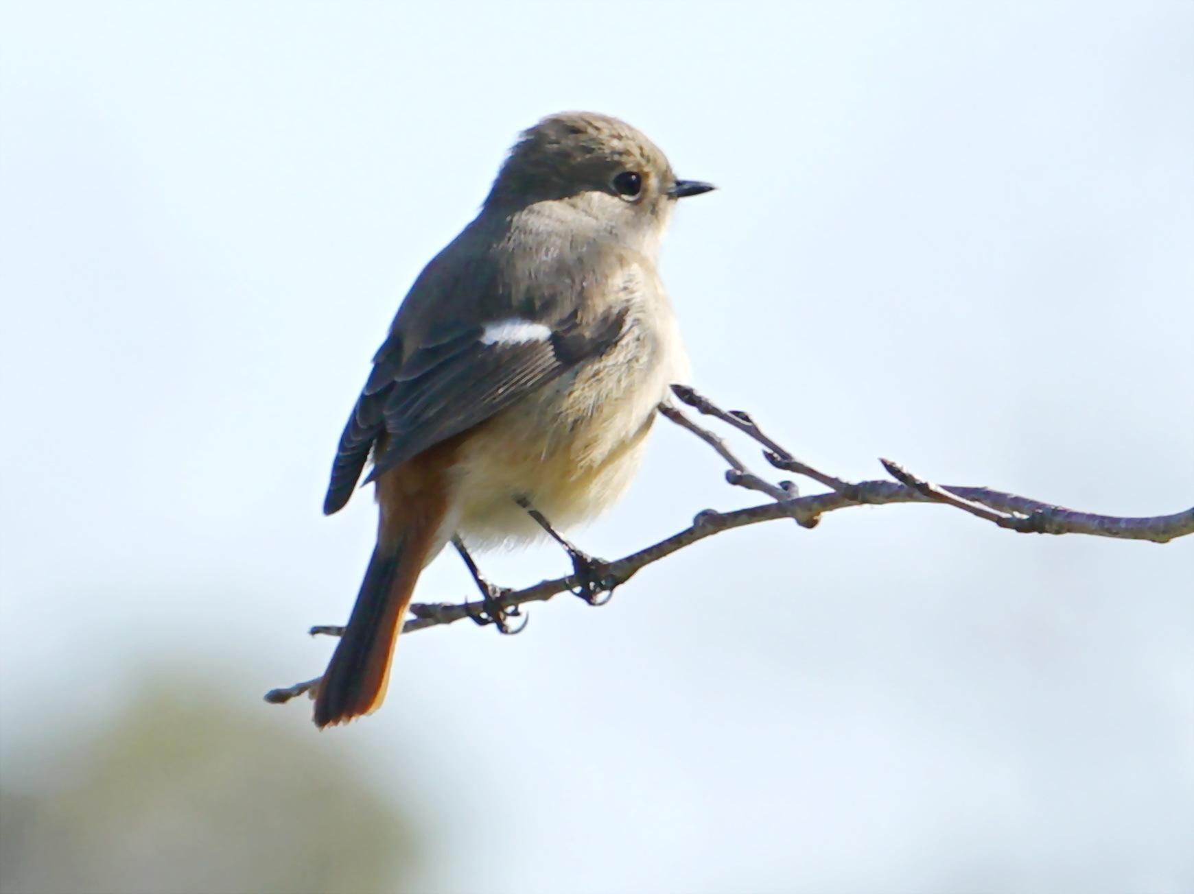 富浜緑地で見られる野鳥についてR2.3.17_d0338682_12570529.jpg