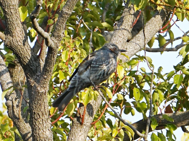 富浜緑地で見られる野鳥についてR2.3.17_d0338682_12590091.jpg