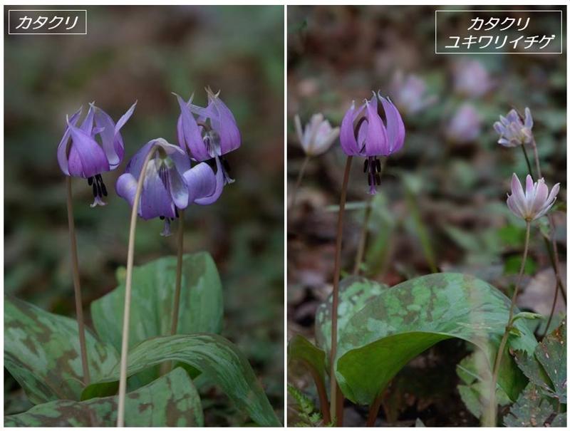 春の山野草2020(スプリング・エフェメラル)_a0204089_2215081.jpg