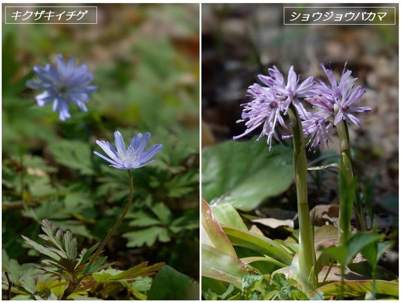 春の山野草2020(スプリング・エフェメラル)_a0204089_2222639.jpg