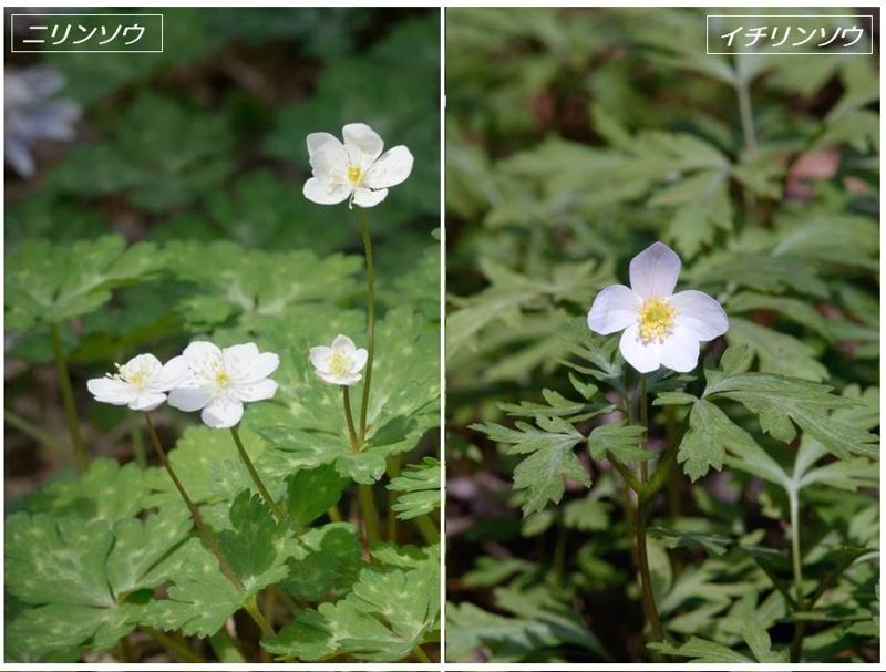 春の山野草2020(スプリング・エフェメラル)_a0204089_222463.jpg
