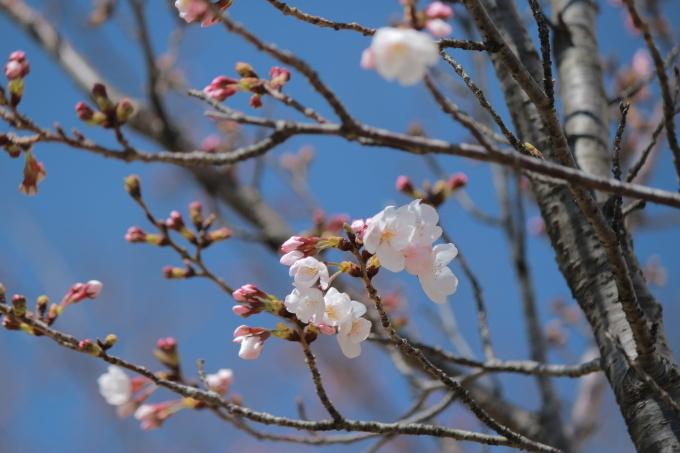 3月26日の桜_b0324291_22435582.jpg