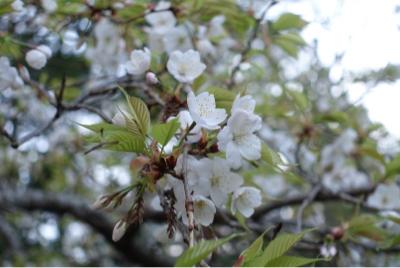 桜も満開_a0283796_20413261.jpg