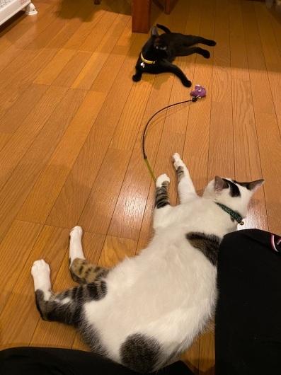 【里親決定の猫】ウールとシルク_a0170297_20281391.jpeg