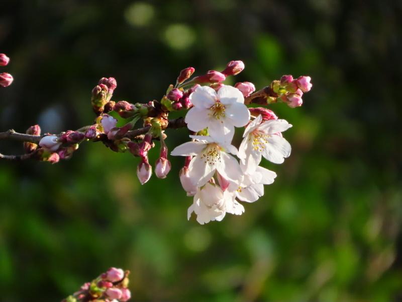 桜とライラック 2020_f0033598_22203257.jpg