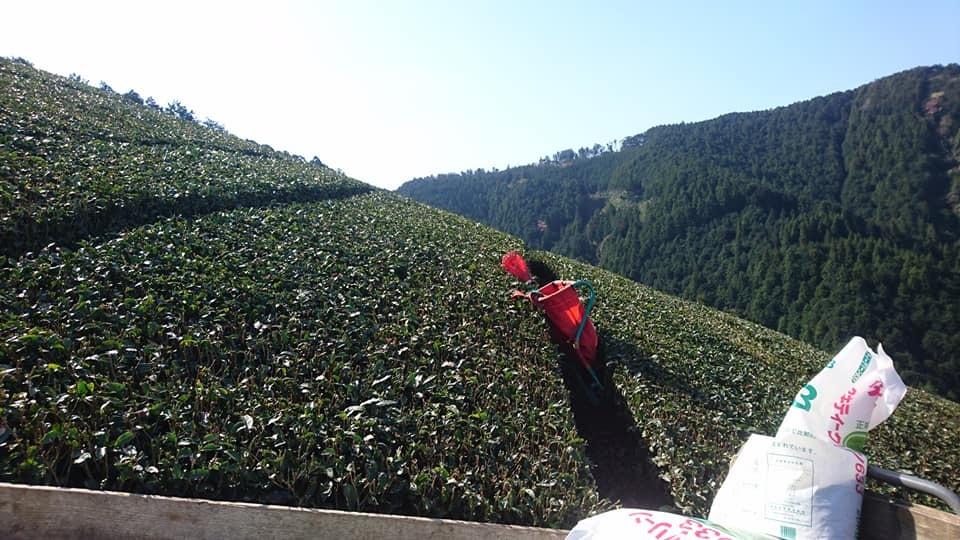 新茶シーズンまで一ヵ月_b0028299_20464797.jpg