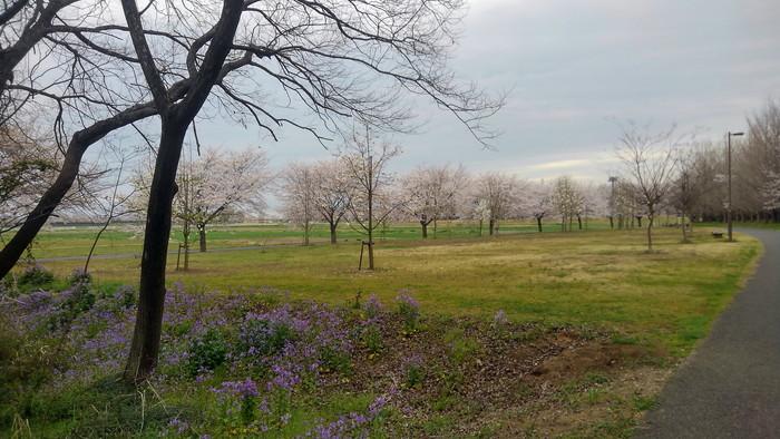 MFで探鳥から花見へ(桜は満開)_f0239515_18185536.jpg