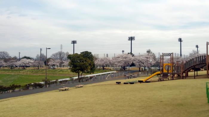 MFで探鳥から花見へ(桜は満開)_f0239515_18195543.jpg