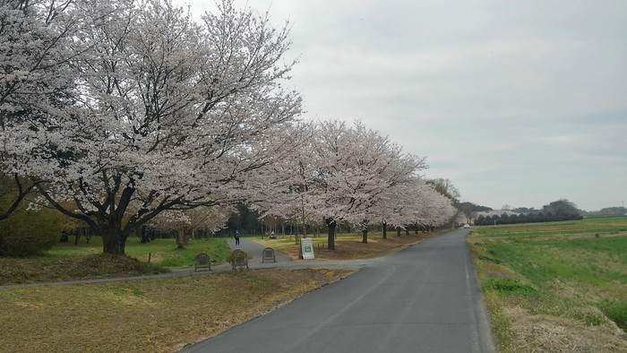 MFで探鳥から花見へ(桜は満開)_f0239515_18213110.jpg