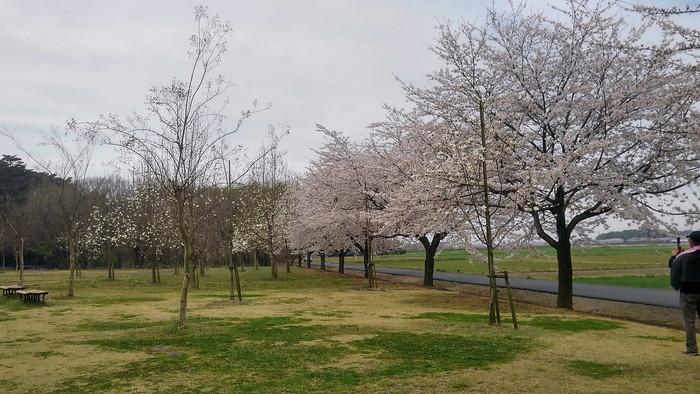 MFで探鳥から花見へ(桜は満開)_f0239515_18222086.jpg