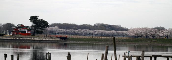 MFで探鳥から花見へ(桜は満開)_f0239515_18234545.jpg