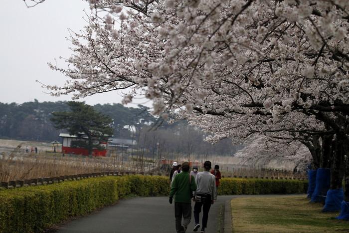 MFで探鳥から花見へ(桜は満開)_f0239515_18242584.jpg