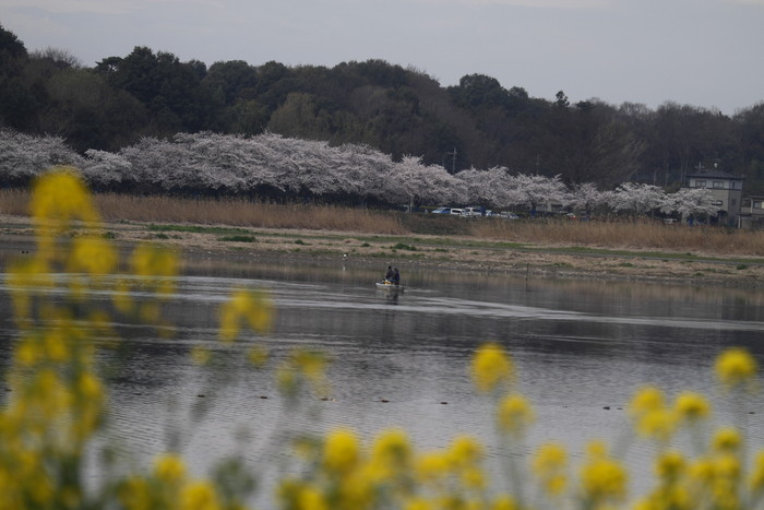 MFで探鳥から花見へ(桜は満開)_f0239515_1824843.jpg