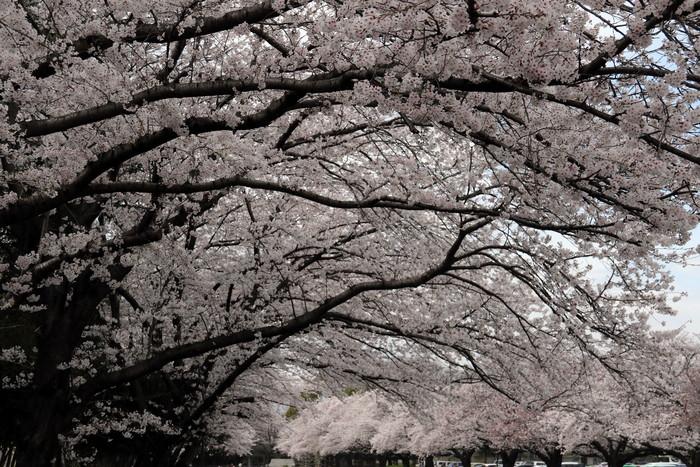 館林市役所南面駐車場よりの花見_f0239515_18493351.jpg