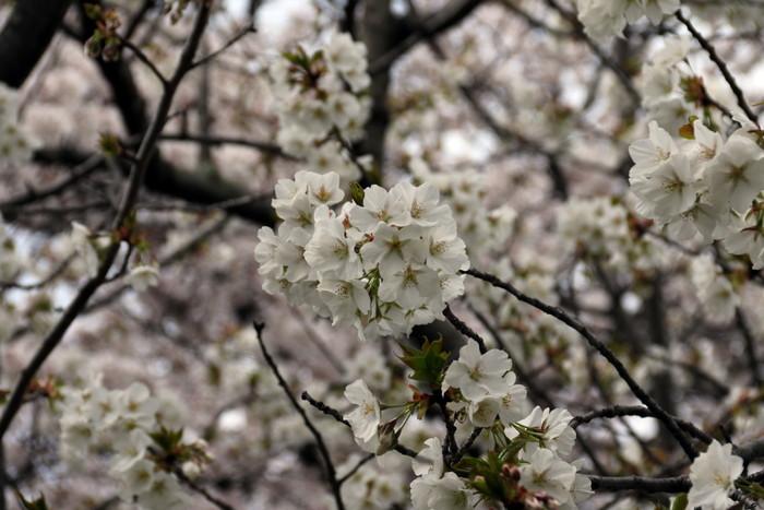 館林市役所南面駐車場よりの花見_f0239515_18502543.jpg