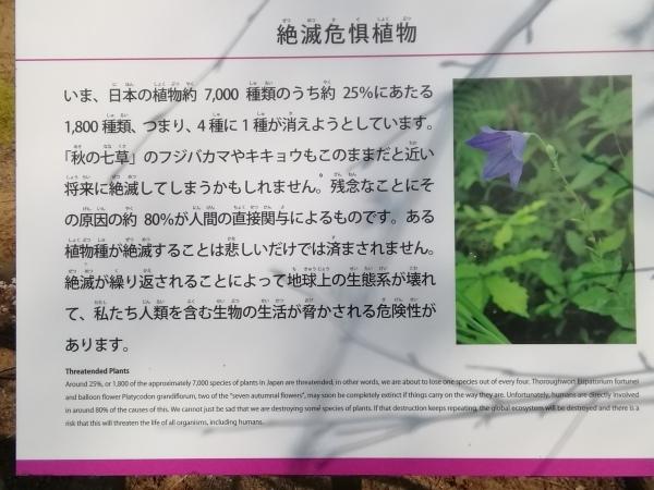 絶滅危惧種 キキョウの花_e0257524_12111611.jpg