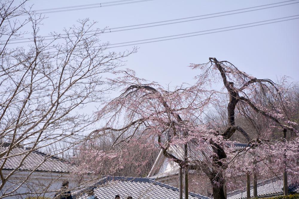 正門付近の枝垂桜_e0373930_20384266.jpg