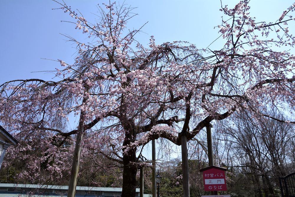 正門付近の枝垂桜_e0373930_20384284.jpg