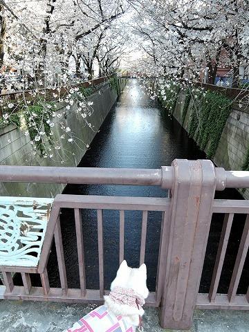 エアお花見_c0062832_16181205.jpg