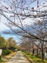 桜_a0059035_23544806.jpg
