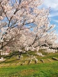 桜_a0059035_23545152.jpg