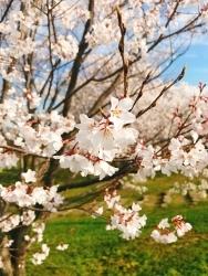 桜_a0059035_23545451.jpg