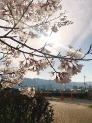 桜_a0059035_23550068.jpg