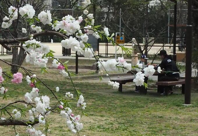 ご近所の桜【その1】 まだちょいと早かったぞなもし篇_d0027243_18275276.jpg