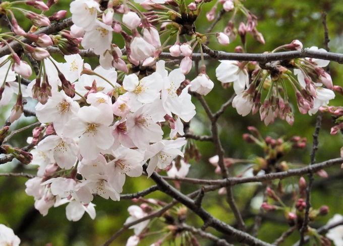 ご近所の桜【その1】 まだちょいと早かったぞなもし篇_d0027243_22340498.jpg