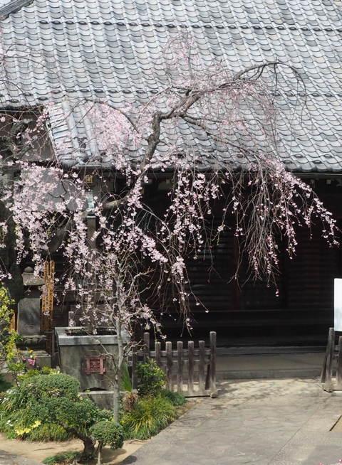 ご近所の桜【その1】 まだちょいと早かったぞなもし篇_d0027243_22381168.jpg