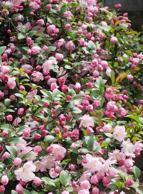 ご近所の桜【その1】 まだちょいと早かったぞなもし篇_d0027243_22472823.jpg