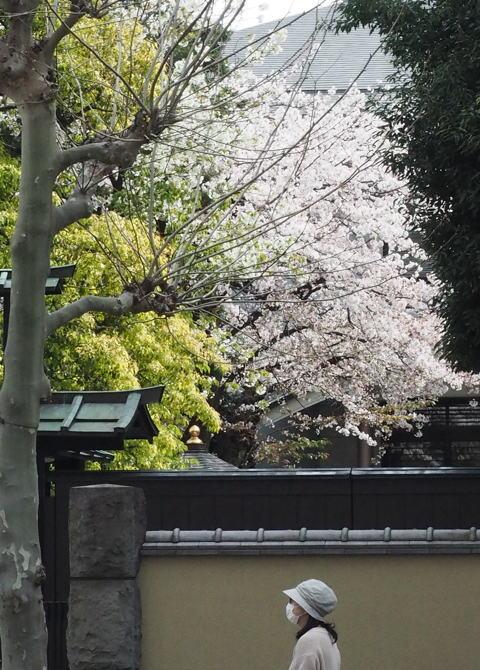 ご近所の桜【その1】 まだちょいと早かったぞなもし篇_d0027243_23173338.jpg