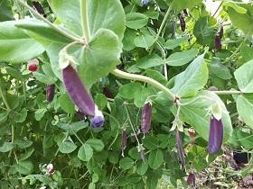 【紫えんどう豆】_e0093046_14180136.jpg