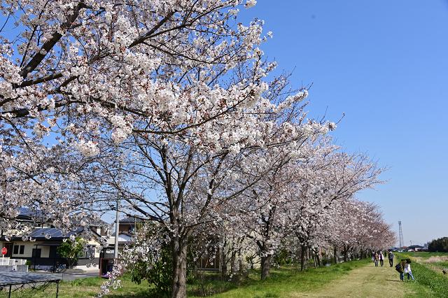 桜 ふじみ野市_b0249247_00231970.jpg