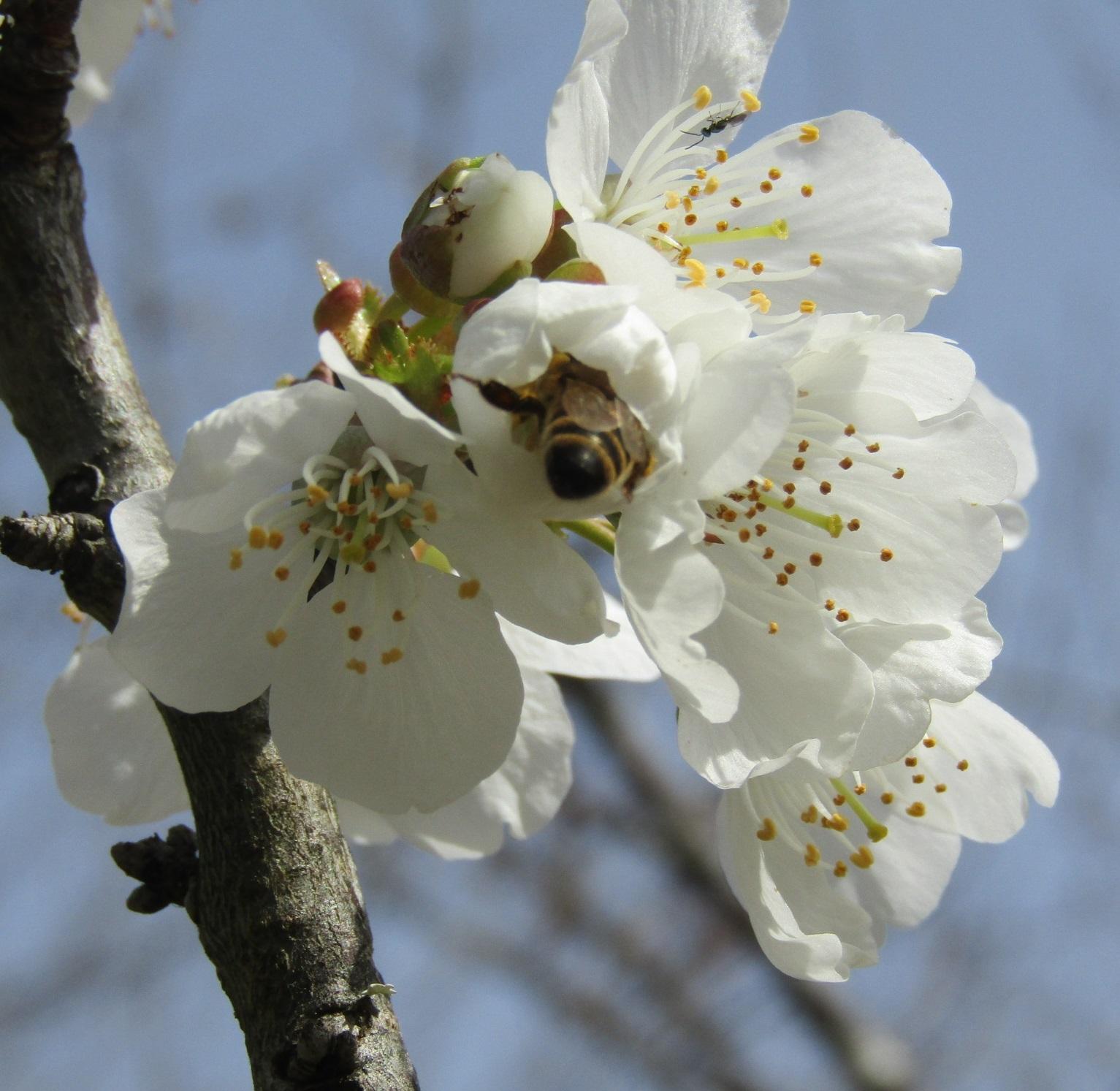 蜜蜂 カンチョー!!_b0287748_00404785.jpg