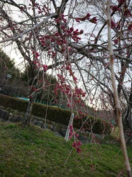 桜開花時期待ち遠しい🌸_e0020051_11070879.jpg
