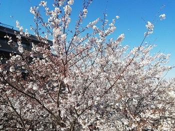 かむろ坂の桜_a0061057_04841.jpg