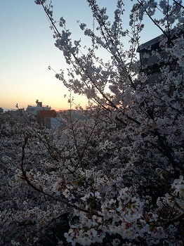 かむろ坂の桜_a0061057_0484682.jpg