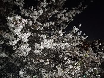 かむろ坂の桜_a0061057_0492014.jpg