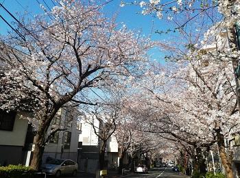 かむろ坂の桜_a0061057_050148.jpg