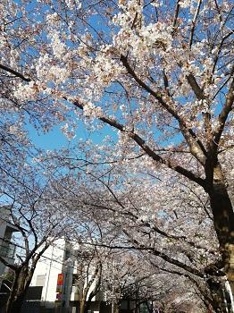 かむろ坂の桜_a0061057_0505884.jpg